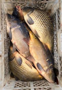 Открыта продажа живой рыбы!