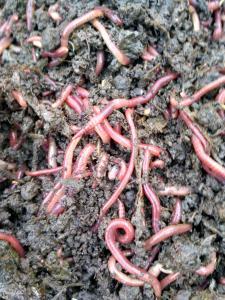 Домашняя миниферма червей.Биогумус.