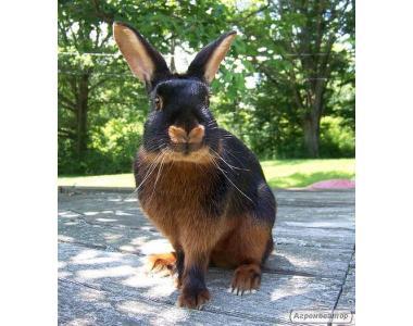 племенное поголовье кроликов черно огненных