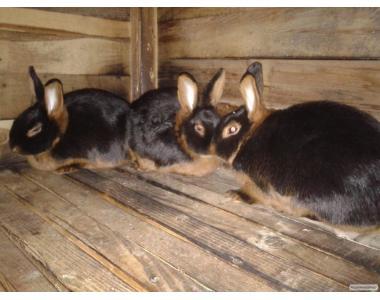 племінне поголів'я кролів чорно вогняних