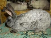 Продаються кролі породи : Полтавське срібло
