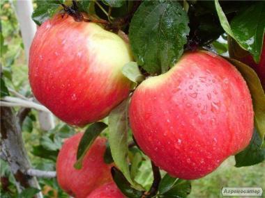 Саджанці яблуні сорту Ерлі Женева, від виробника