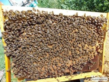 Пчелопакеты,Пчелы! Отводки, порода Карпатка! Бжолопакети.15пакетів