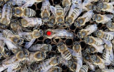 Бджоломатки плідні