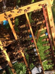 Пчеломатки плодные