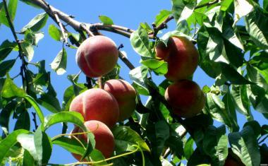Саженцы и косточки персика Зимостойкий (Канадский)