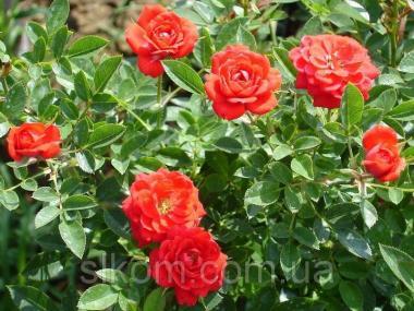 Роза миниатюрная Red Det (Ред Дет)