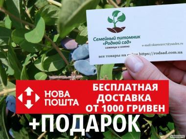 Жимолость съедобная(їстівна) семена (20 штук) для саженцев