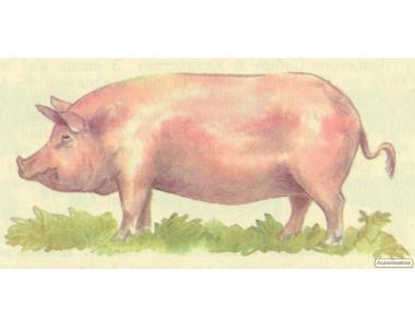 Продам молоді породисті свинки