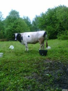 Продам корову с третьим телятем.