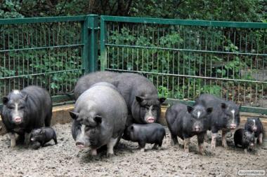 Продаються поросята травоїдних свиней