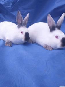 Племінні кролі, кролики калiфорнiя