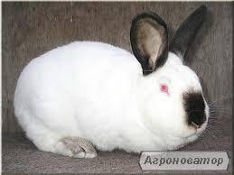 продам кроликів породи