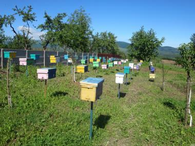 Продам плідні бджоломатки карпатки вучковської селекції.