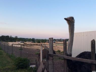 Продам чорних африканських страусів