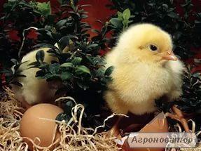 Інкубаційне яйце бройлера РОСС-708, РОСС-308 і КОББ-500