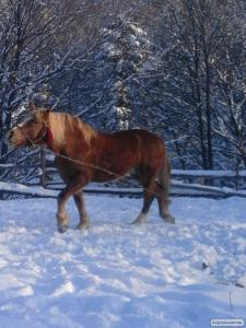 Продам доброго коня