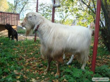 Продам козла ламанчу
