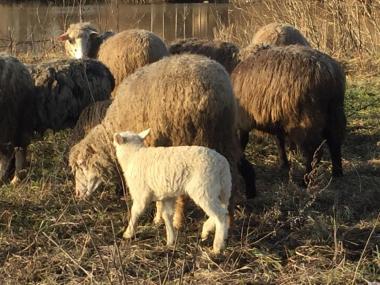продам бараны овцы ягнята