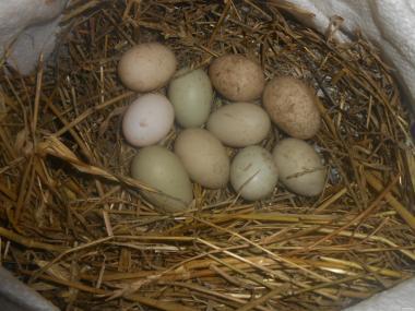 Яйцо дикой утки кряквы