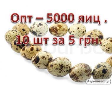 Перепелиные яйца опт - дешево и качественно