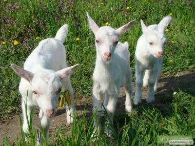 Зааненские козлята (цапки)