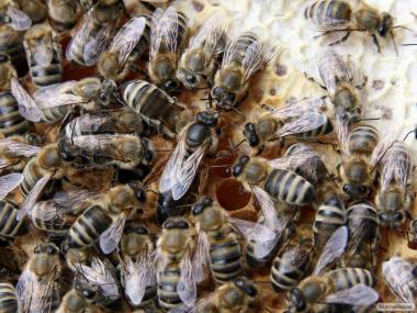Продам пчелосемьи с собственной пасеки