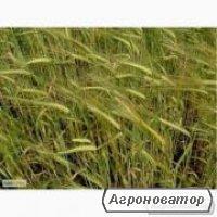 Семена ржи озимой - сорт Сиверське, 1 репродукция