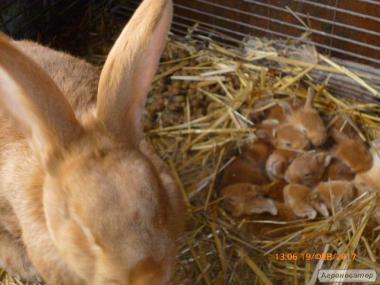 Продам кролів бургундської породи