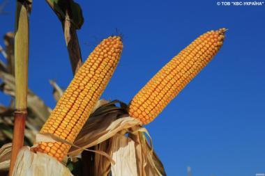 Насіння кукурудзи Карифолс від виробника КВС (KWS)