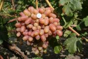 Виноград ОПТ