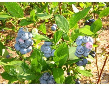 Саджанці малини Блюголд 2-річні