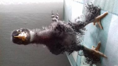 Цыплята Джерсийского гиганта и Мехеленской кукушки(Малин)