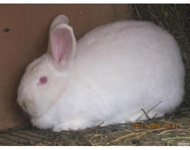 Качественный молодняк кроликов