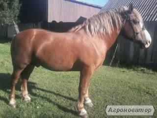 Продам коня Новоалександрийский ваговоз
