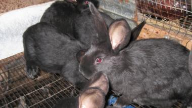 Продам кроликов  породы Полтавское серебро  на племя