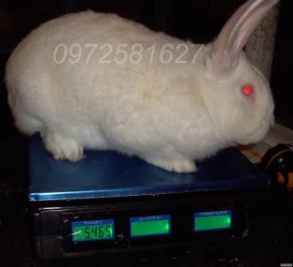 Кролики бройлеры из Европы Бельгийской селекции.