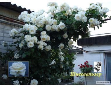 Свженцы роз днепропетровск штамбовые, плетистые, бордюрные, парковые