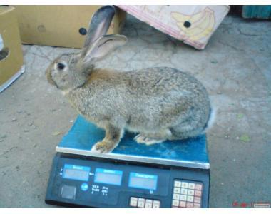 Кролики (самочки) г. Вознесенск