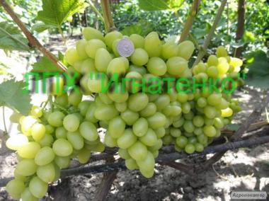 Продаём виноград (ягода)