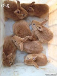 кролики 5 місяців бургунці
