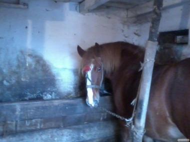 Продам дві кобили і коня