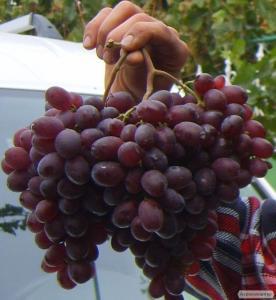 Продам столовий виноград