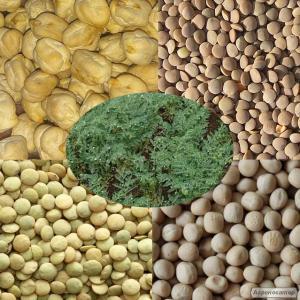 Продаємо насіння нуту високопродуктивних, великоплідних сортів