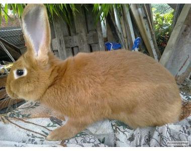 Продам чистокровных кроликов породы Бургундец