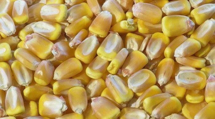 Семена кукурузы Збруч
