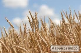 насіння озимої пшениці Фаворитка (безоста)