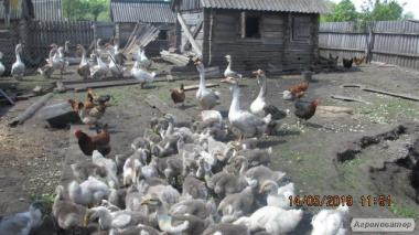 Продам гусят-холмогоров