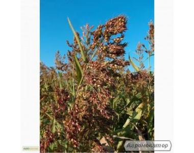 Семена суданской травы. Сорт Мироновская-10