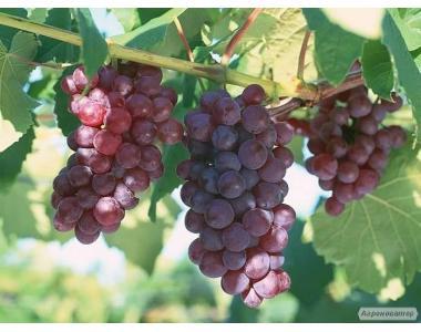 Саженцы винограда сорт ДСП